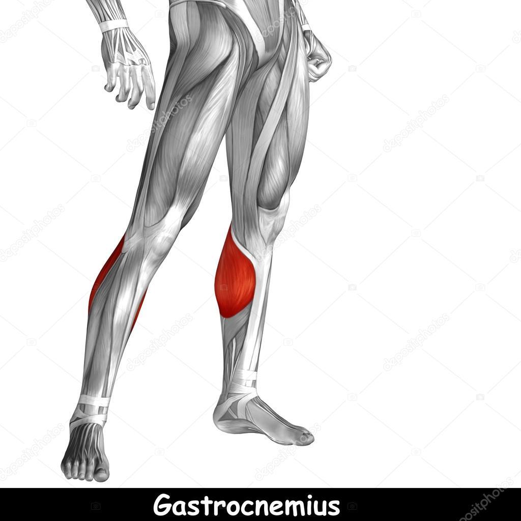 Anatomie der unteren Beine — Stockfoto © design36 #105229410