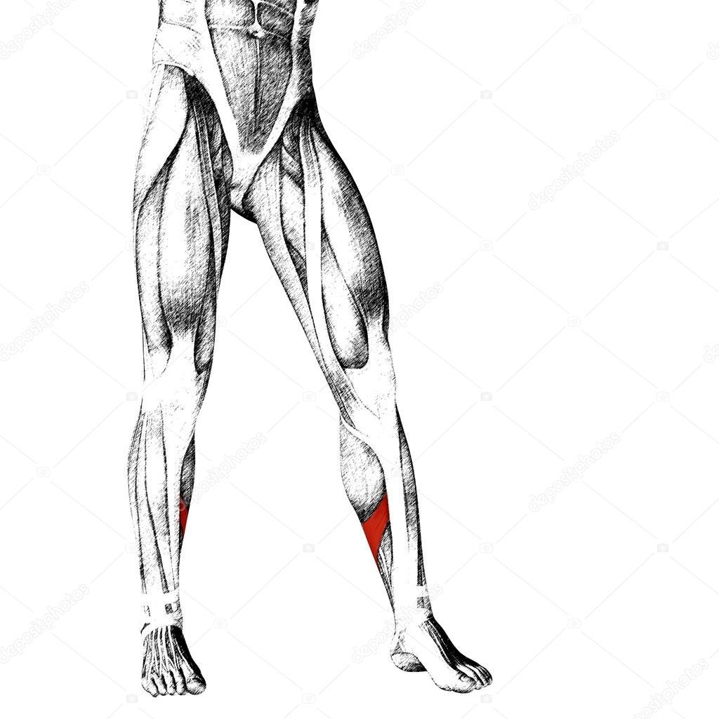 Anatomía de las piernas más baja — Fotos de Stock © design36 #105230244
