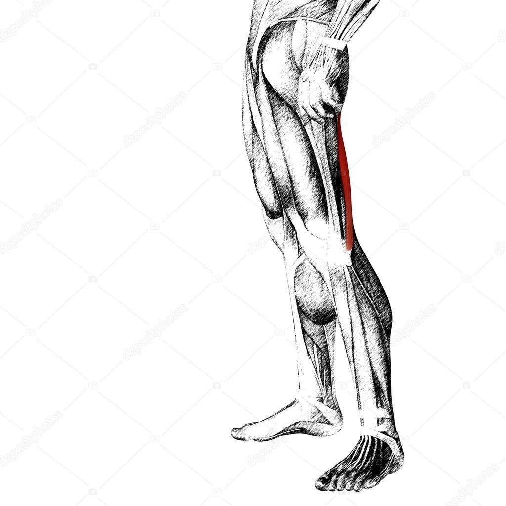 menschliche Oberschenkel-Anatomie — Stockfoto © design36 #105234100