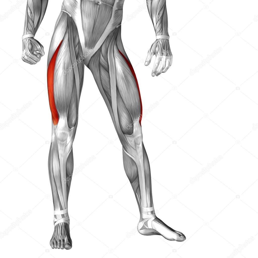 Anatomie der Beine und Muskeln — Stockfoto © design36 #105235028