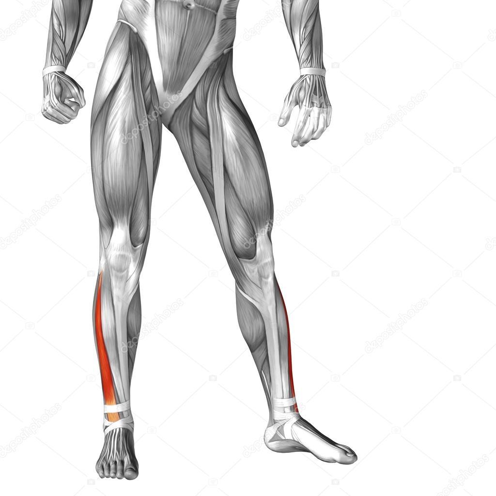 Anatomie der menschlichen Beine — Stockfoto © design36 #105235074