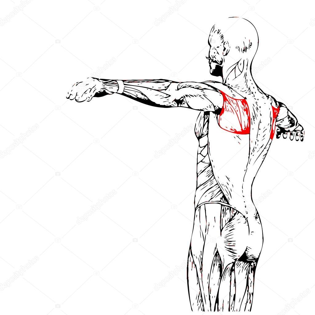 Wieder menschliche Anatomie — Stockfoto © design36 #105235662