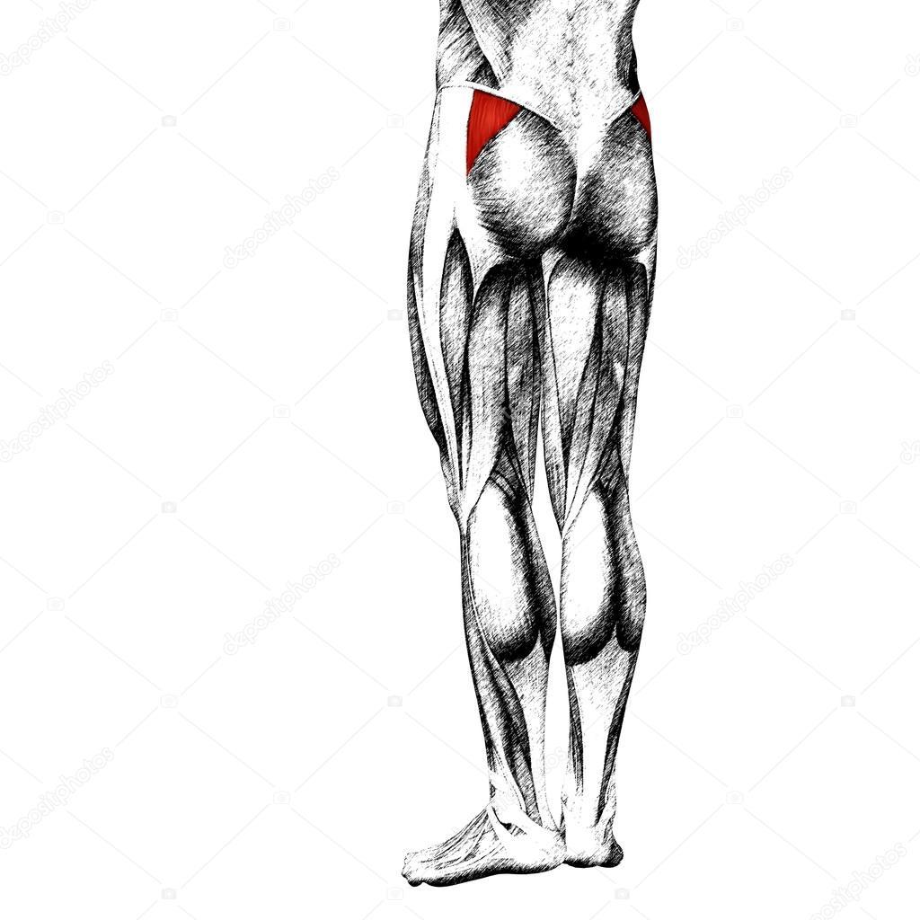 menschliche Oberschenkel-Anatomie — Stockfoto © design36 #105235912
