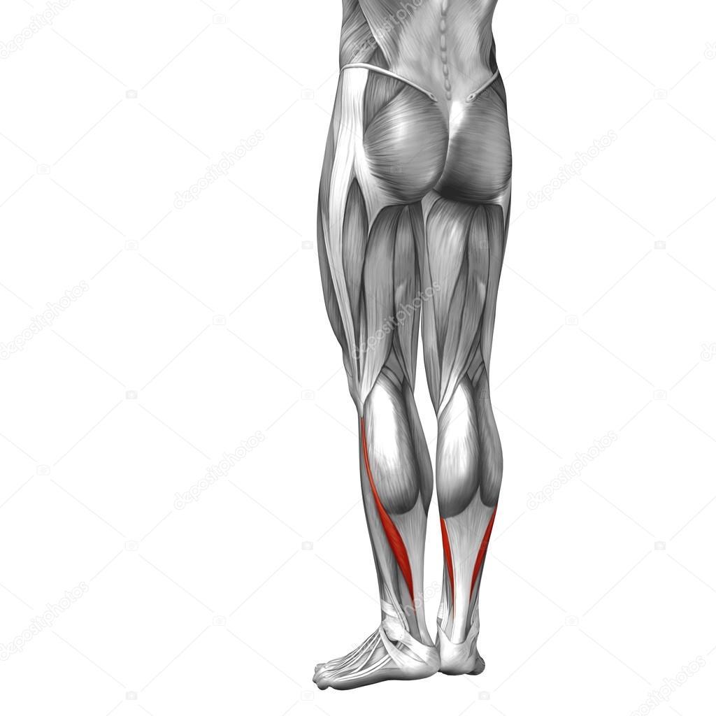 Anatomie der unteren Beine — Stockfoto © design36 #105236724
