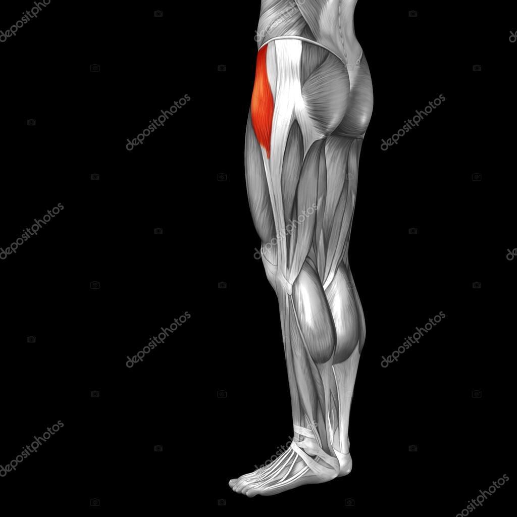 menschlichen Oberschenkel Anatomie und Muskeln — Stockfoto ...