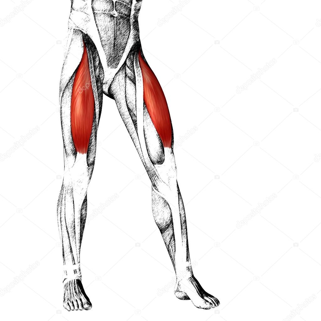 Adductor Longus Human Upper Legs Stock Photo Design36 105240100