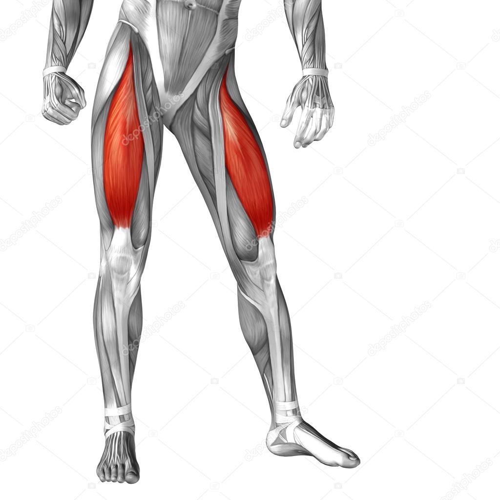 Anatomie der Beine und Muskeln — Stockfoto © design36 #105240452