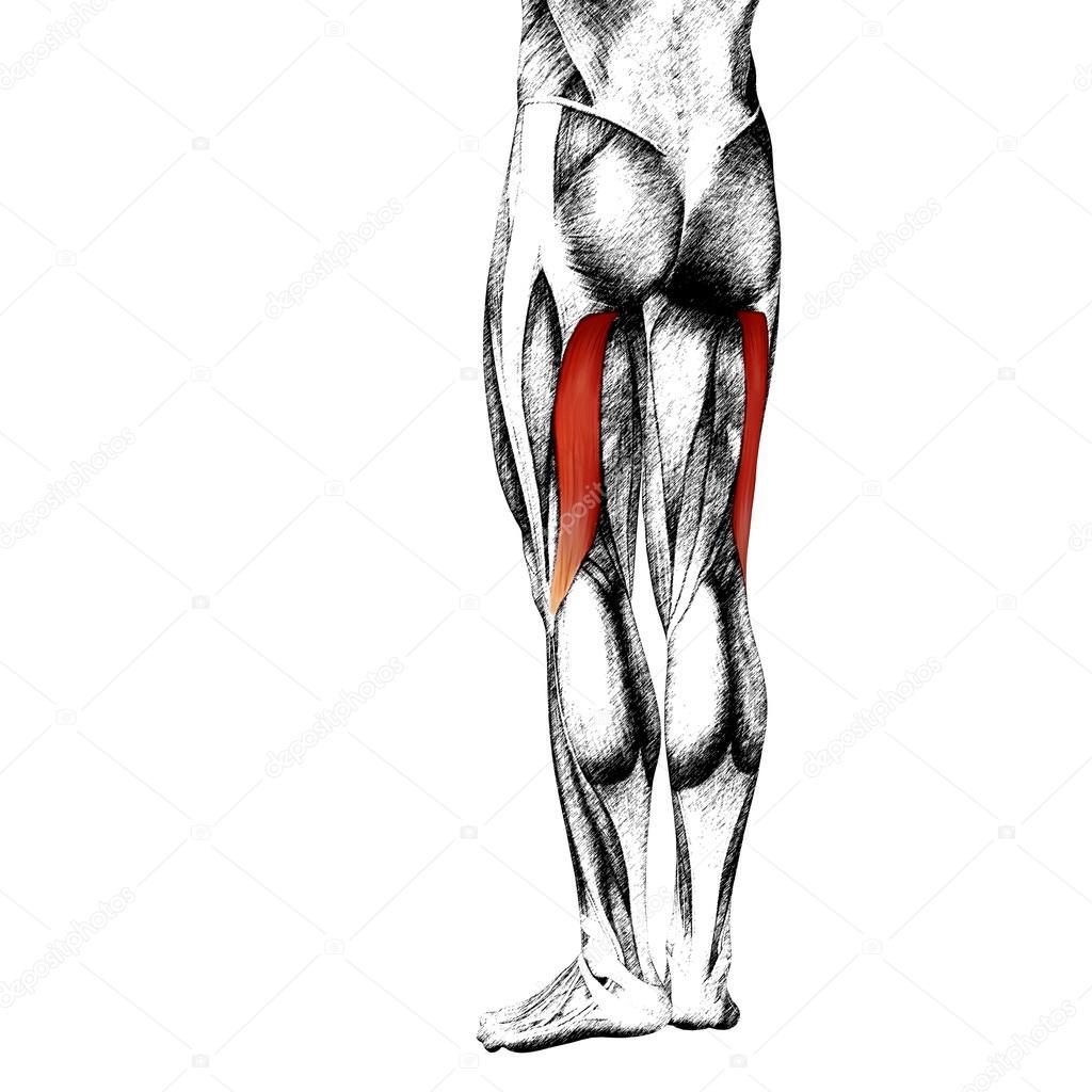 Human Upper Legs Anatomy Stockfoto Design36 105241168