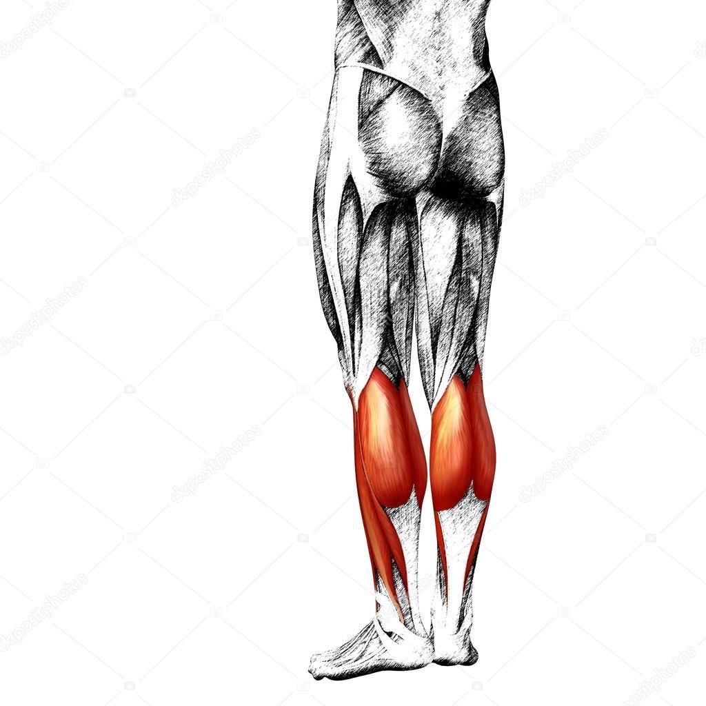 Anatomie der unteren Beine — Stockfoto © design36 #105241248