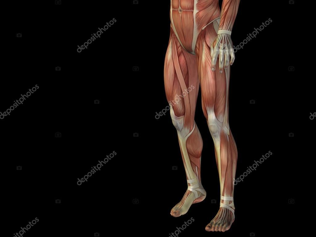 La humano del cuerpo musculos parte de inferior
