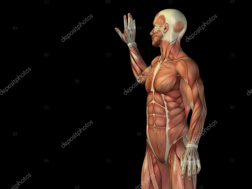Anatomy Upper Body With Muscles Stock Photo Design36 105243762