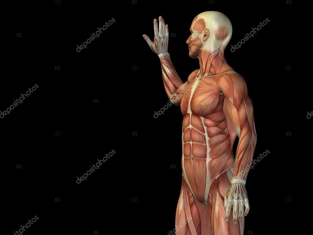 parte superior del cuerpo con los músculos anatomía — Fotos de Stock ...