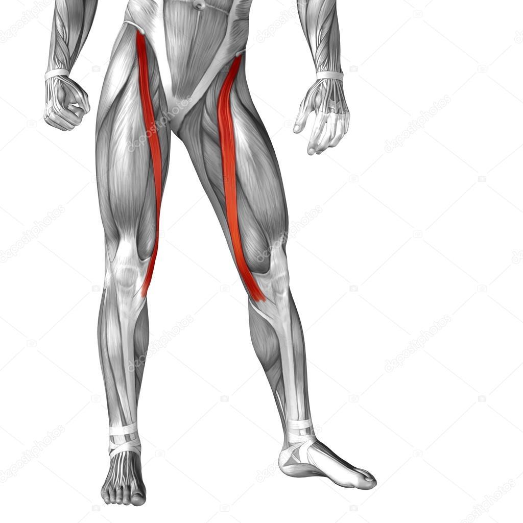 Anatomie der Beine und Muskeln — Stockfoto © design36 #105244528