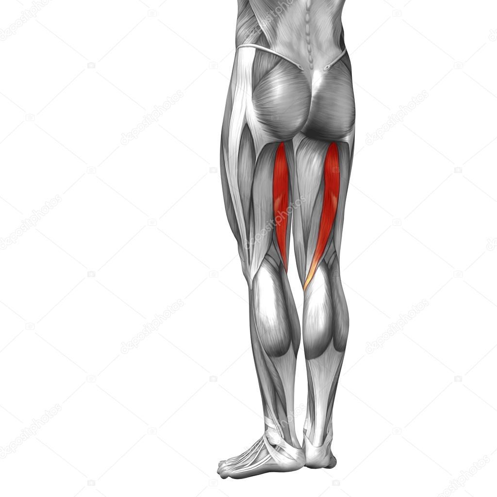 Anatomie der Beine und Muskeln — Stockfoto © design36 #105245750