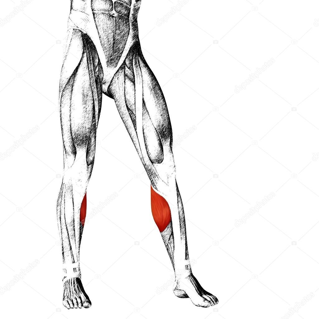Anatomie der unteren Beine — Stockfoto © design36 #105246400