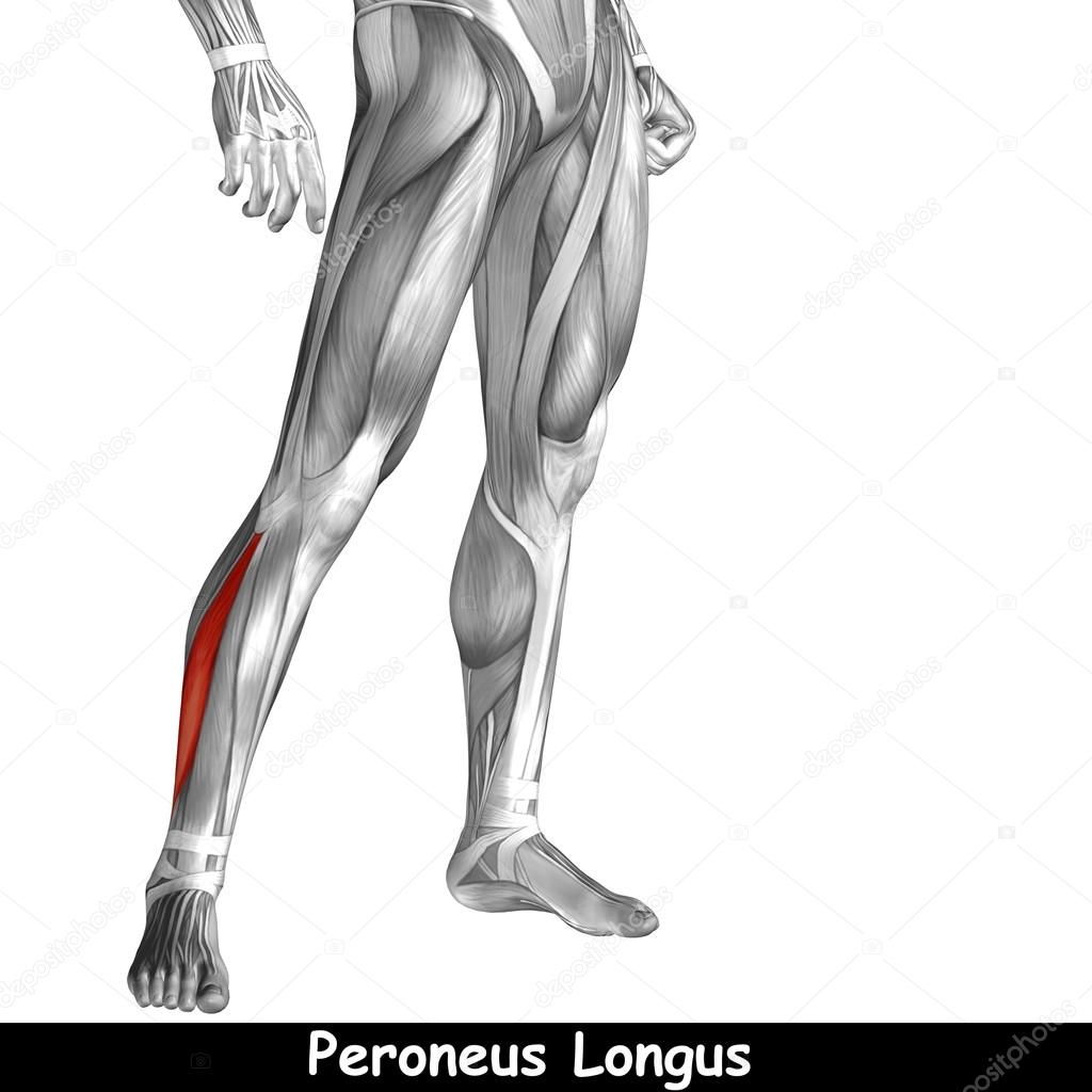 Anatomie der unteren Beine — Stockfoto © design36 #105246768