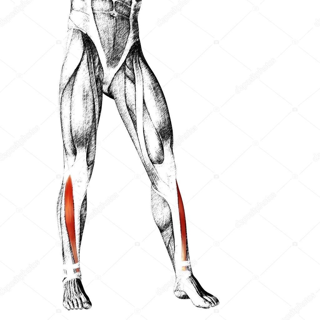 Anatomie der unteren Beine — Stockfoto © design36 #105247022