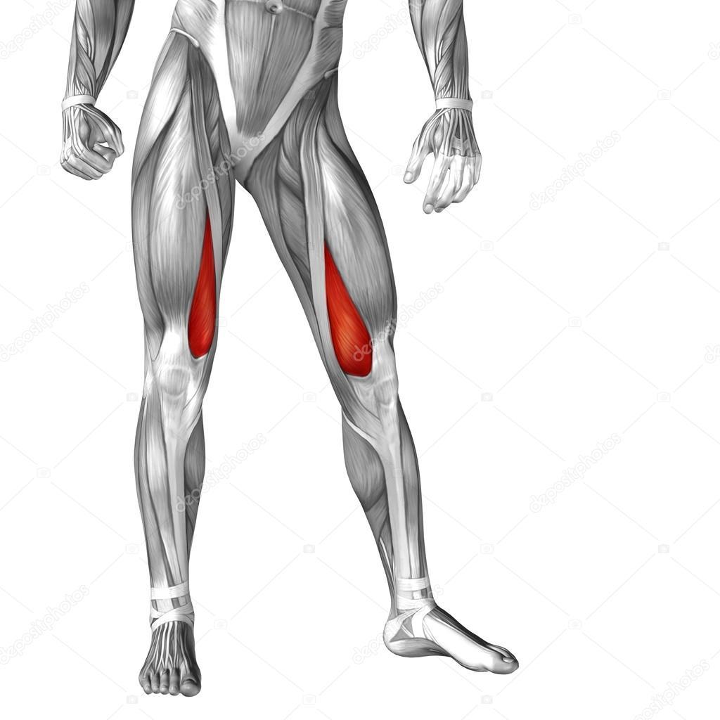 Anatomie der Beine und Muskeln — Stockfoto © design36 #105247352