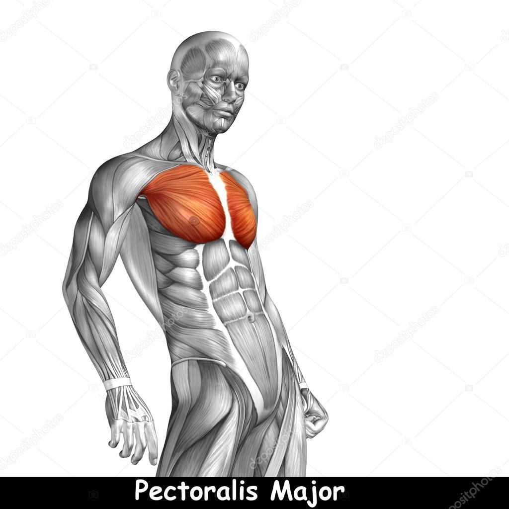 Anatomía del pecho — Foto de stock © design36 #105249136