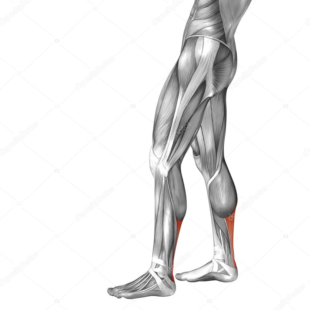 benmuskler anatomi