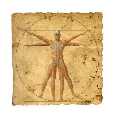 l vitruvian human body drawing