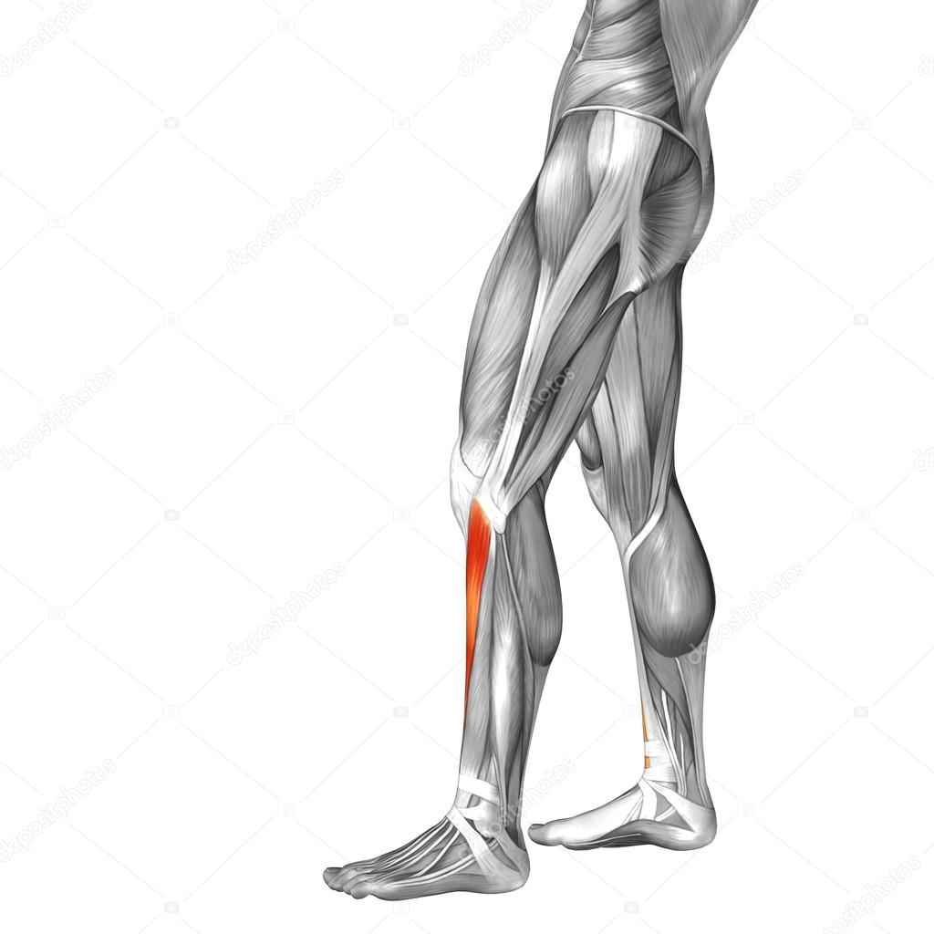 Lower Leg Anatomy And Muscles Stock Photo Design36 108441798