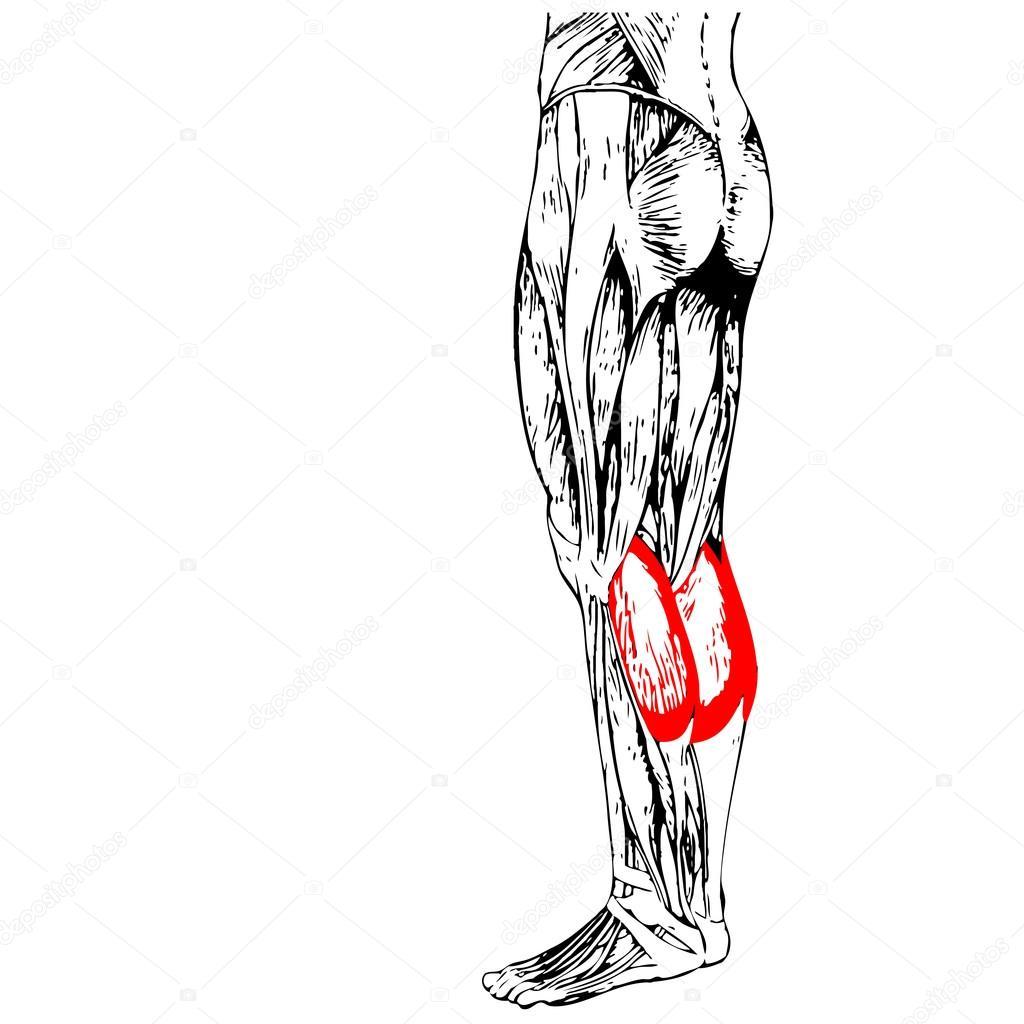 Anatomie der Beine und Muskeln — Stockfoto © design36 #108442154
