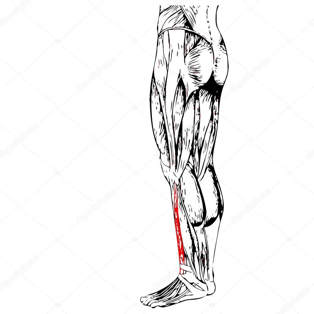 Anatomie der Beine und Muskeln — Stockfoto © design36 #108443176