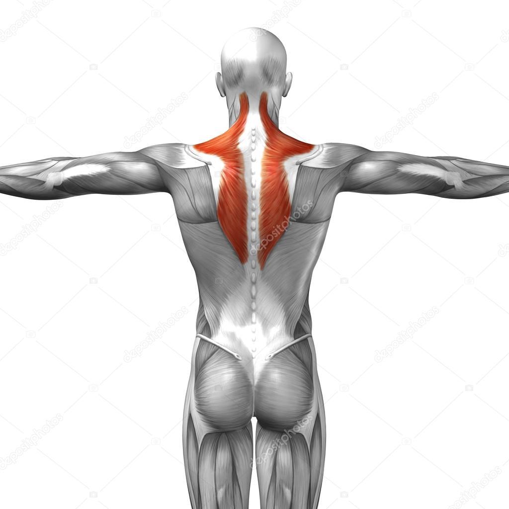 Wieder menschliche Anatomie — Stockfoto © design36 #108443986