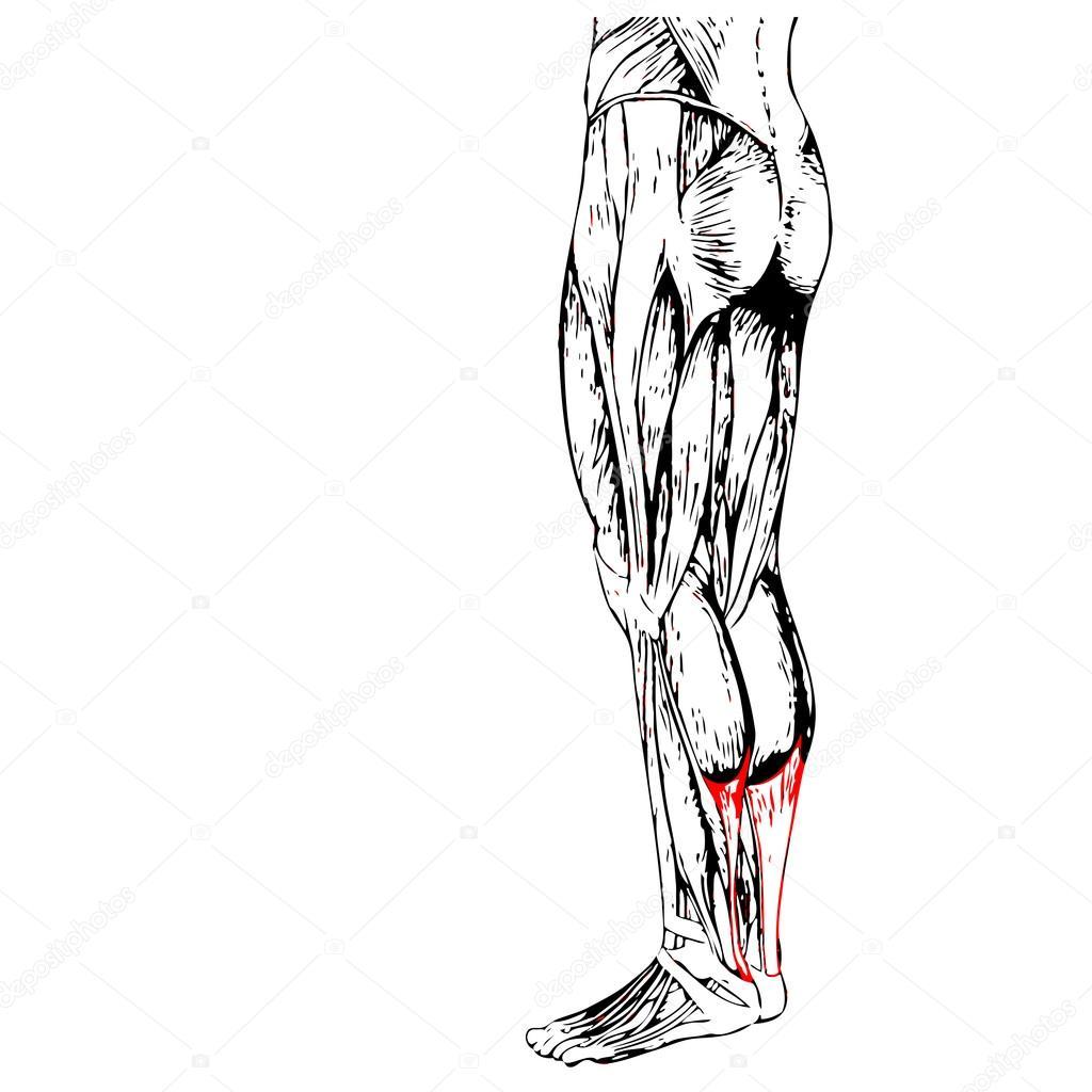 Anatomie der Beine und Muskeln — Stockfoto © design36 #108445386