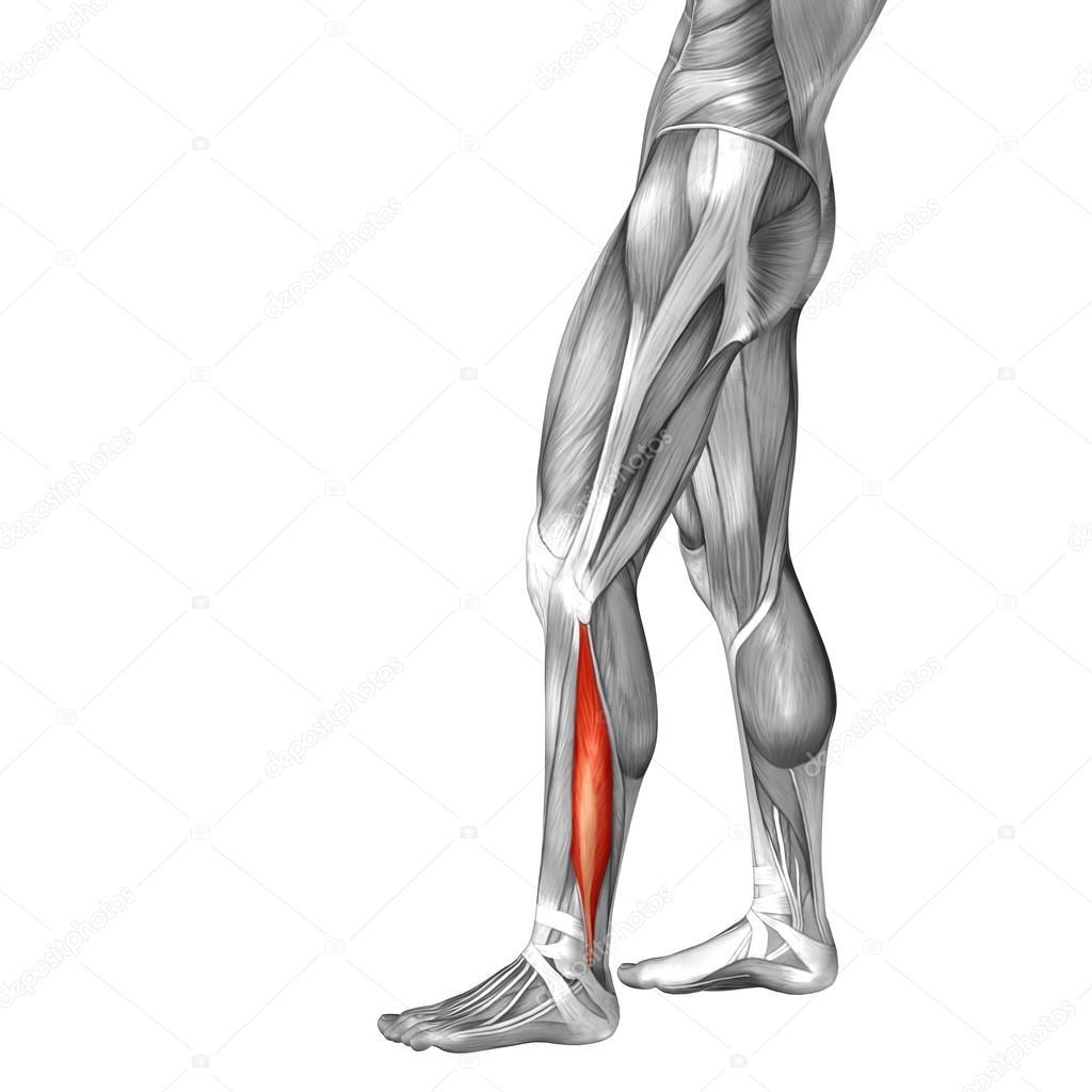 músculos y anatomía de la pierna inferior — Foto de stock © design36 ...