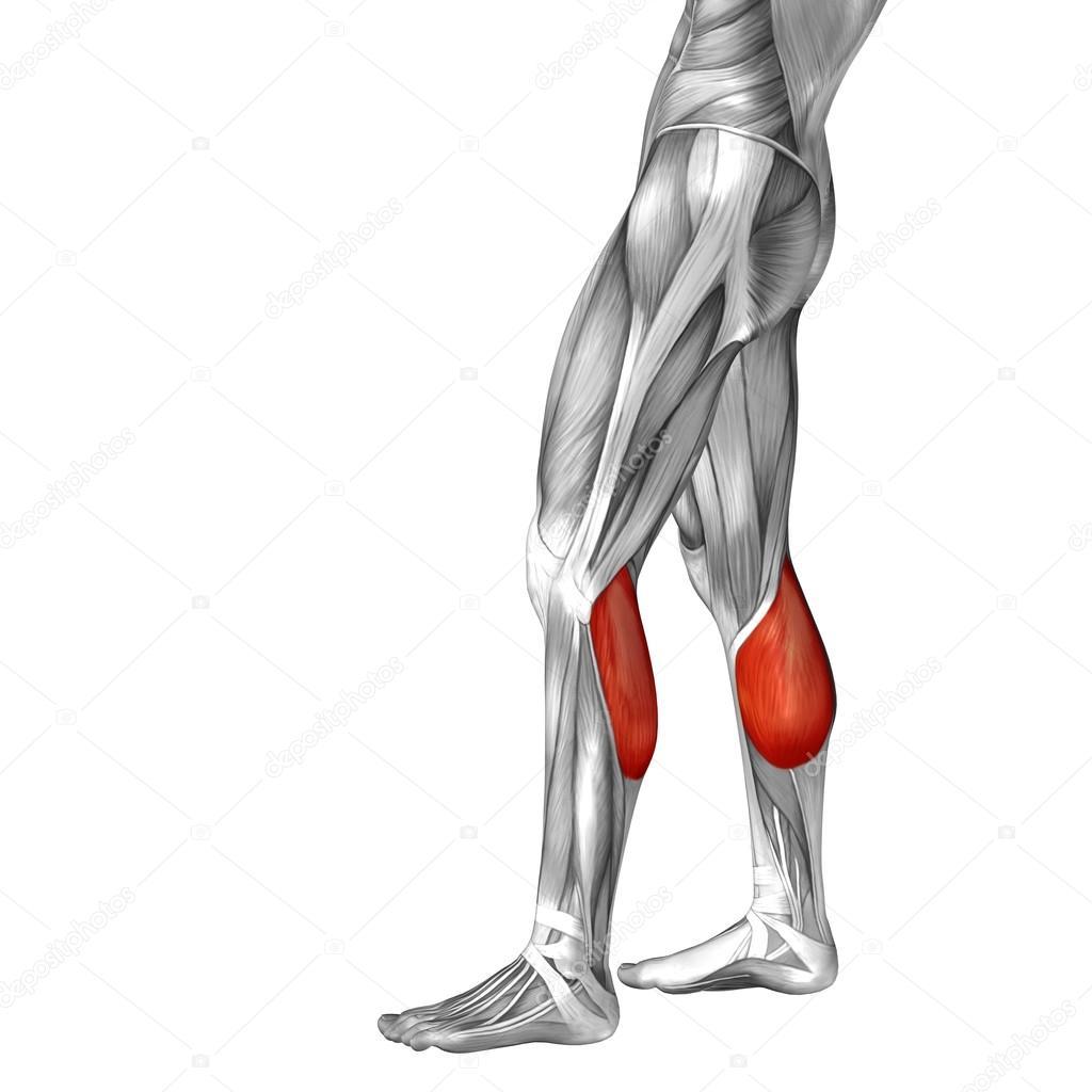 untere Bein Anatomie und Muskeln — Stockfoto © design36 #108447090