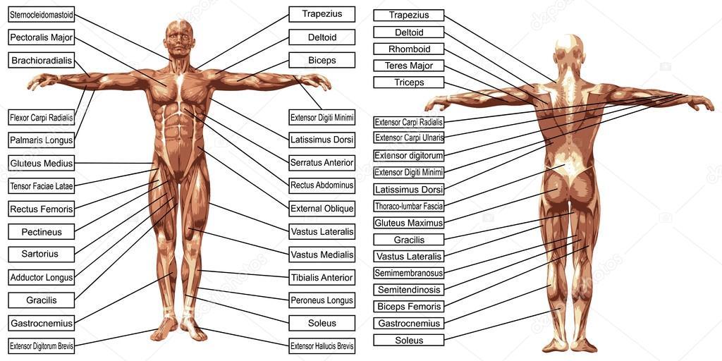 Mann Muskeln Anatomie mit text — Stockvektor © design36 #108444242