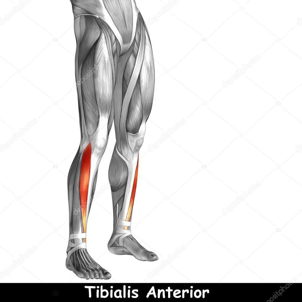 Ungewöhnlich Beine Muskelanatomie Zeitgenössisch - Menschliche ...