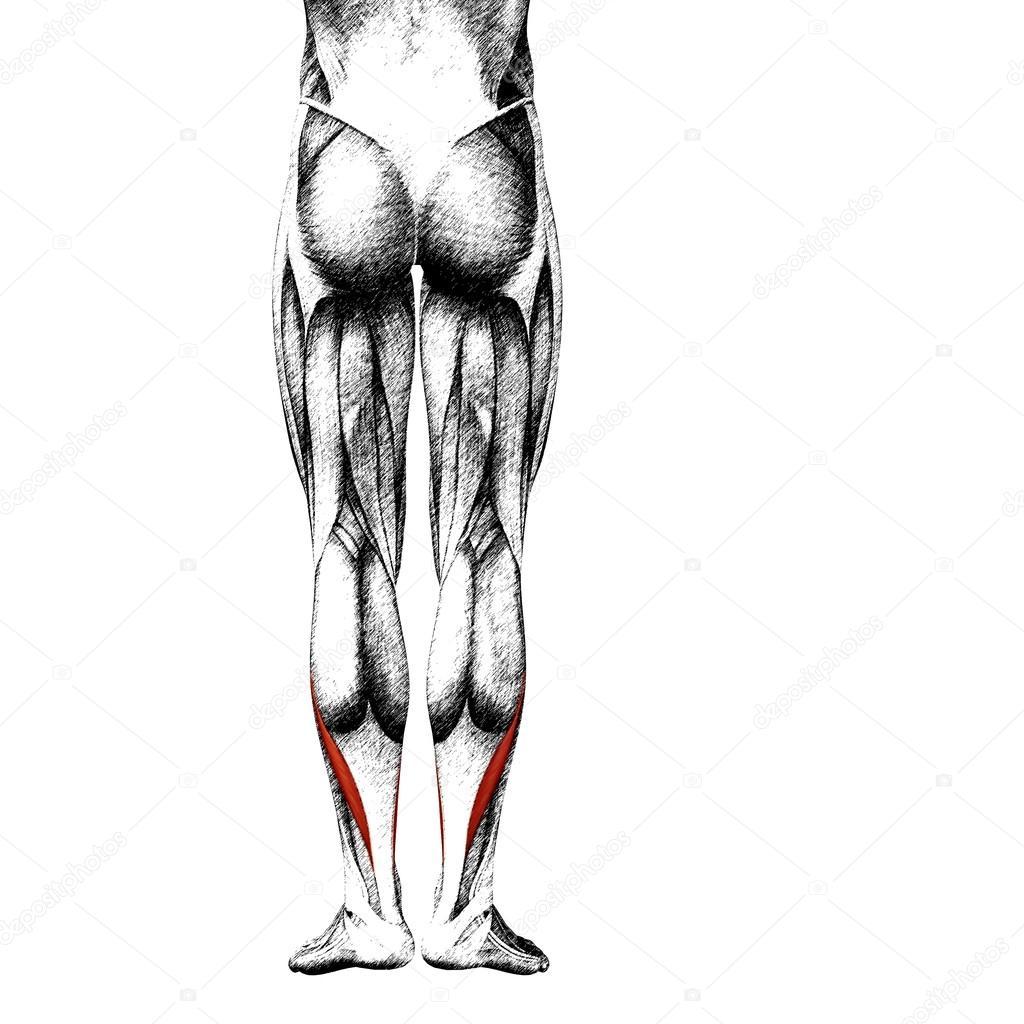 Anatomie der Beine und Muskeln — Stockfoto © design36 #108468602