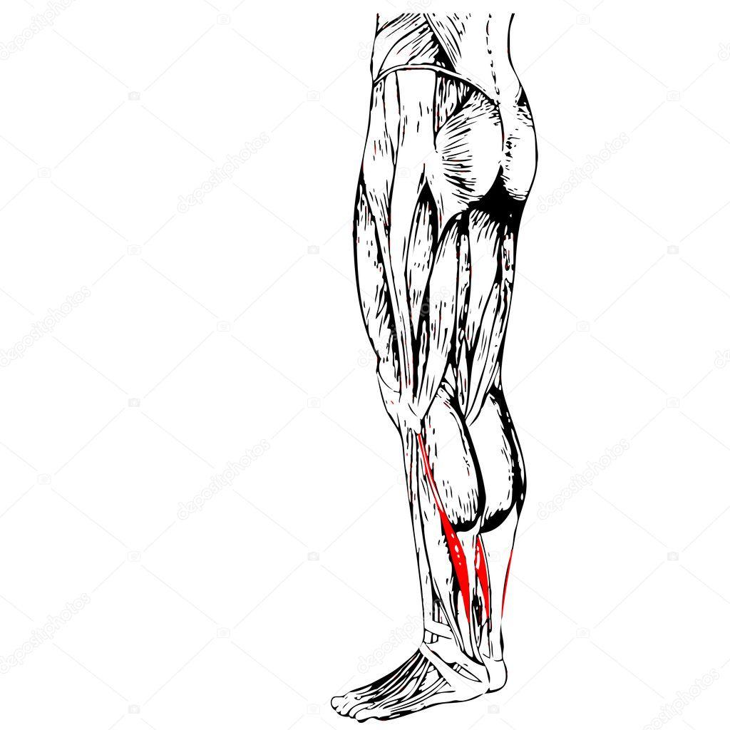 Berühmt Beine Anatomie Muskel Ideen - Anatomie Von Menschlichen ...