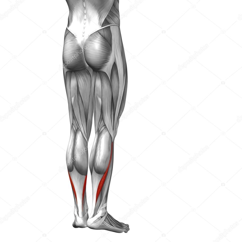 músculos y anatomía de la pierna inferior — Fotos de Stock ...