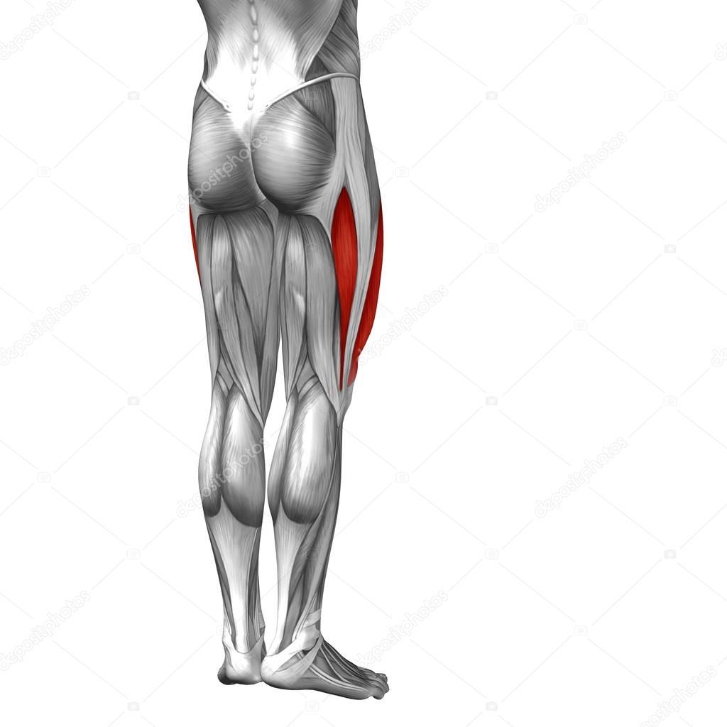 konzeptionelle Oberschenkel-Anatomie — Stockfoto © design36 #108469644