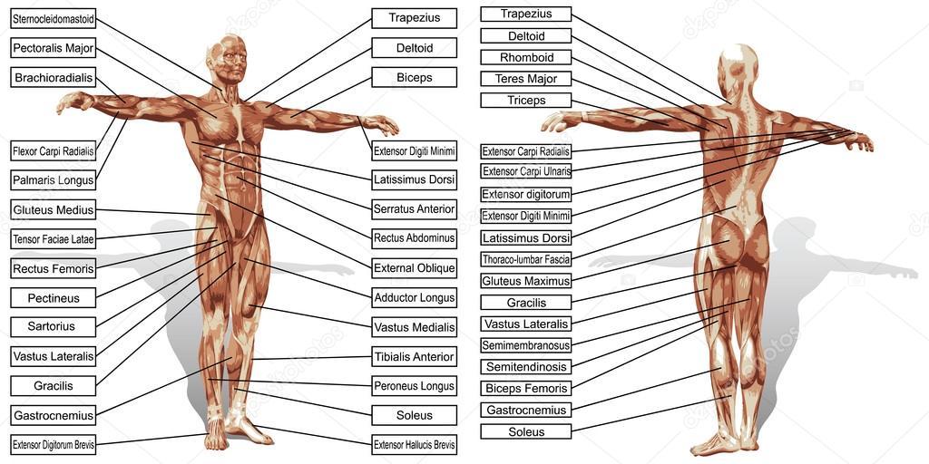 Anatomía de los músculos con texto — Archivo Imágenes Vectoriales ...