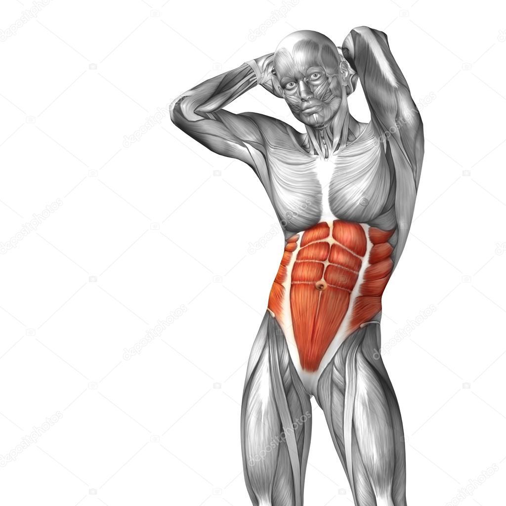 Menschliche Anatomie der Brust — Stockfoto © design36 #108470048