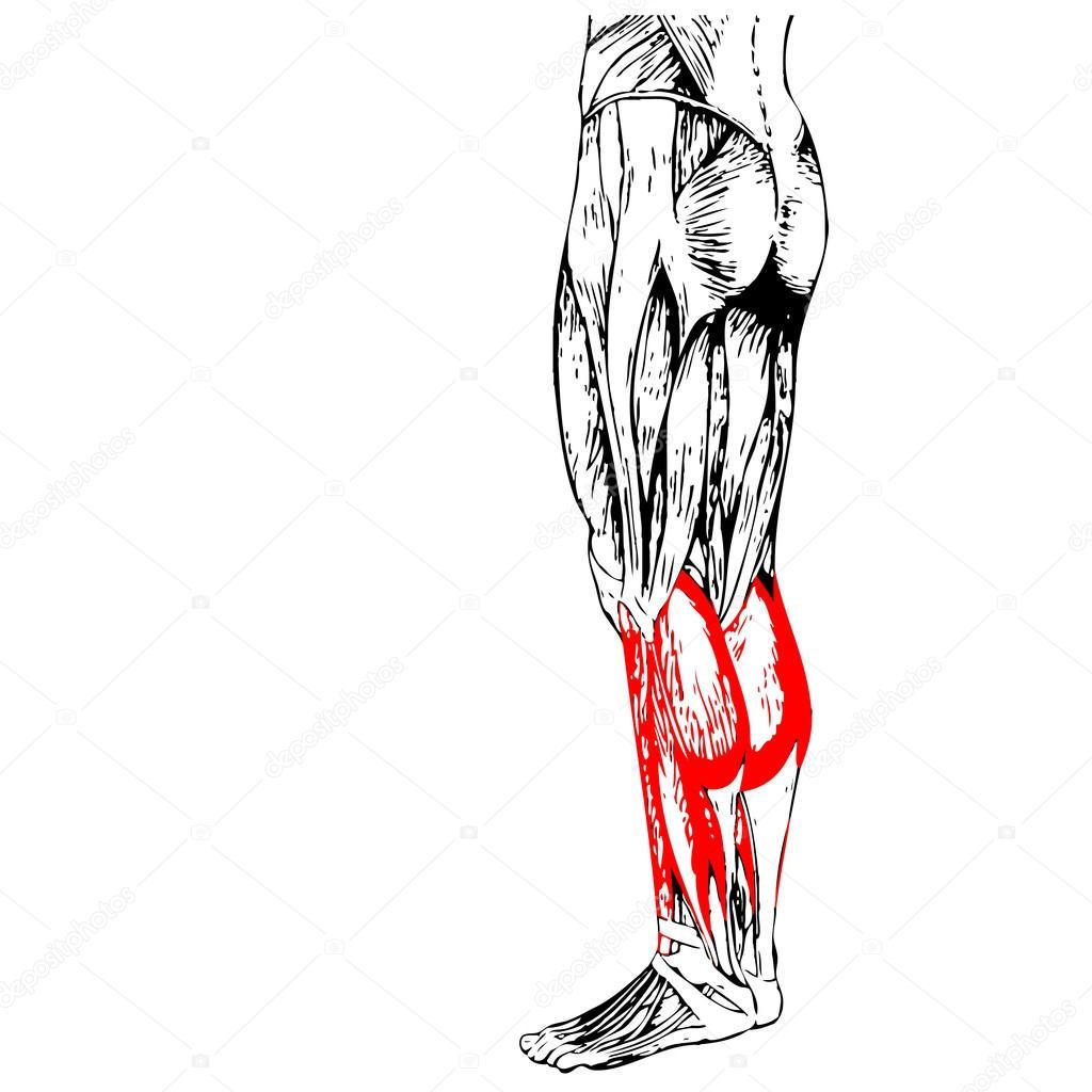 Anatomie der Beine und Muskeln — Stockfoto © design36 #108470144
