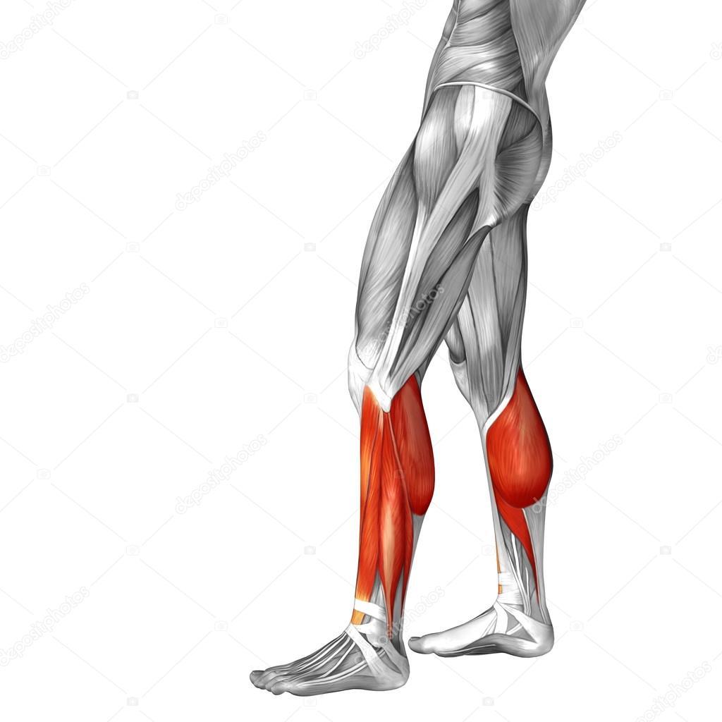 untere Bein Anatomie und Muskeln — Stockfoto © design36 #108470448