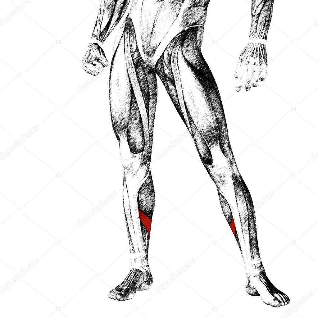 legs anatomy and muscles — Stock Photo © design36 #108470530