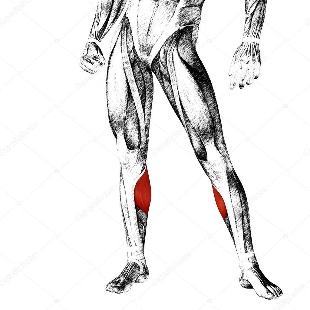 Anatomía de las piernas y los músculos — Foto de stock © design36 ...
