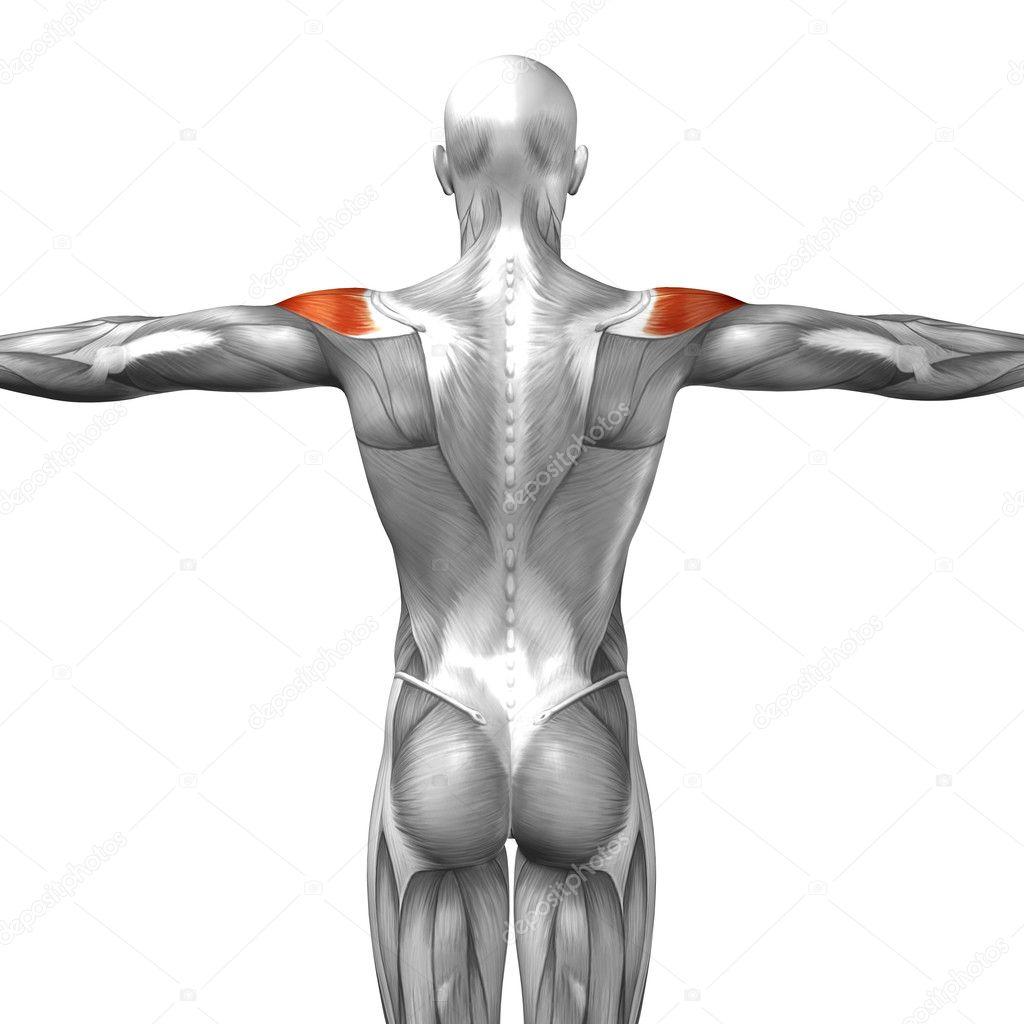 Anatomía humana de nuevo — Fotos de Stock © design36 #108473022