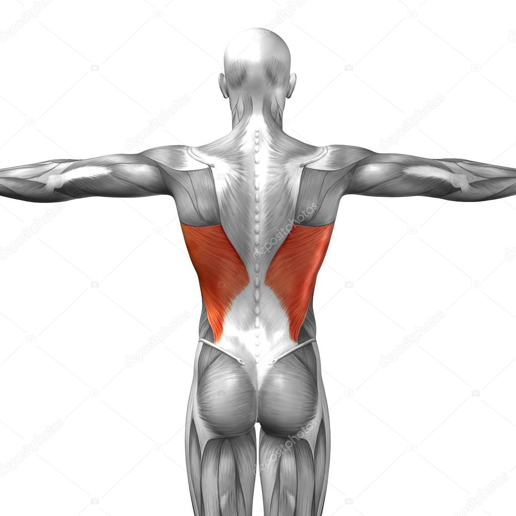 Back Human Anatomy Stock Photo Design36 108474246