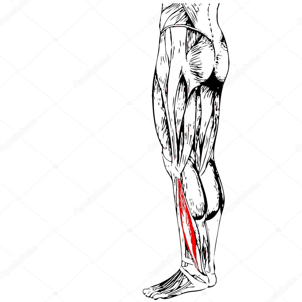 Anatomie der Beine und Muskeln — Stockfoto © design36 #108474914