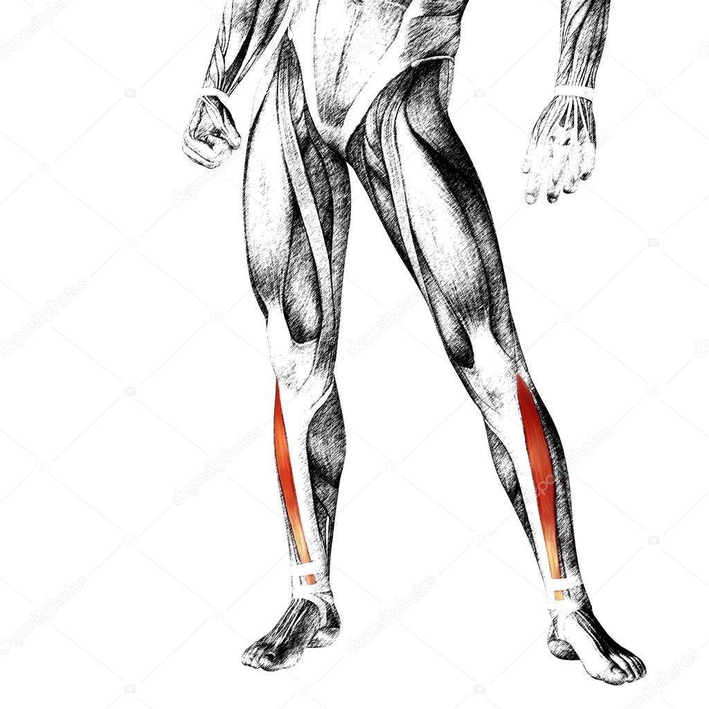 Anatomie der Beine und Muskeln — Stockfoto © design36 #108475646