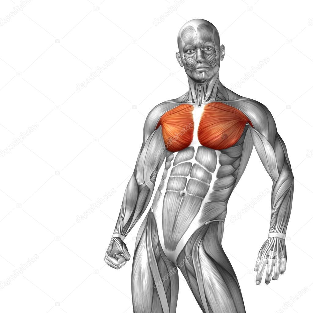 chest human anatomy — Stock Photo © design36 #108475786