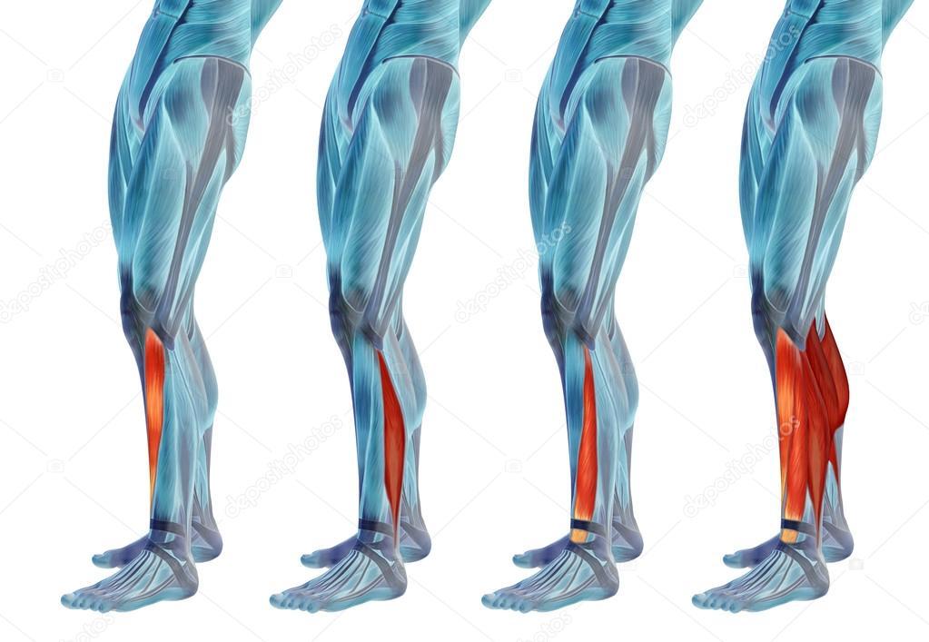 Anatomie der unteren Beine — Stockfoto © design36 #108475858